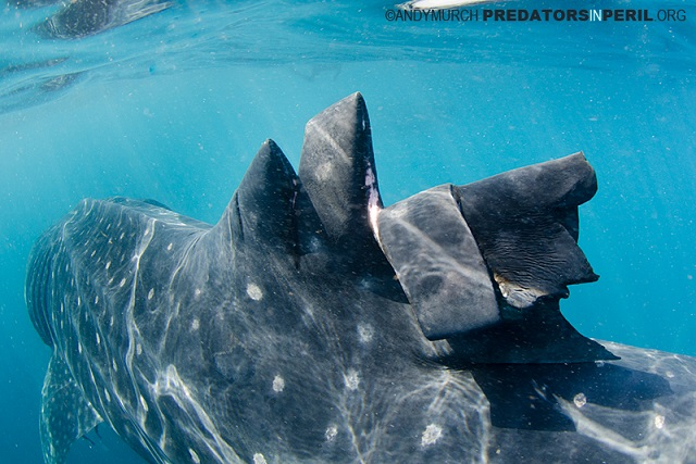 Wounded Whale Shark Free