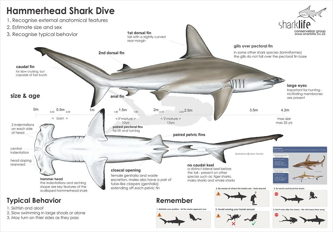 Briefing Bannners : Hammerhead Shark Banner