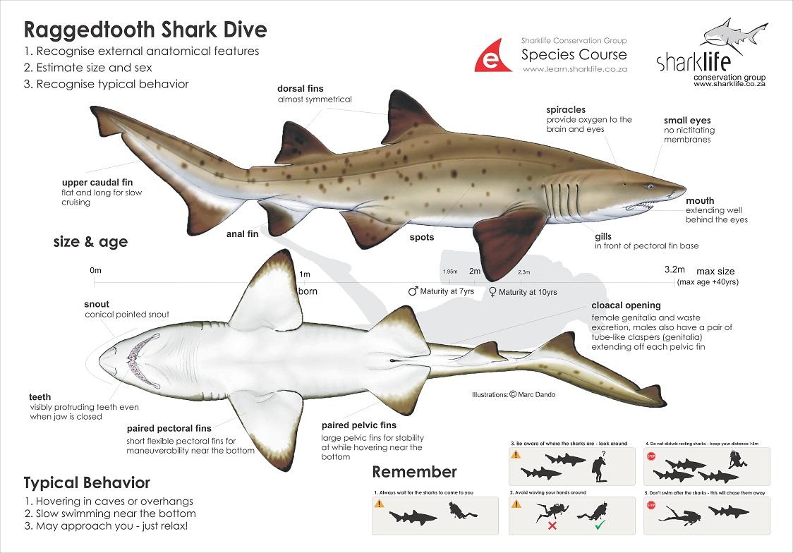 External Anatomy Of Great White Shark - The Best Shark 2017
